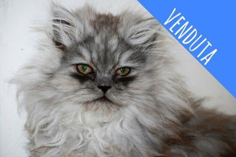 Persiano Silver Tabby