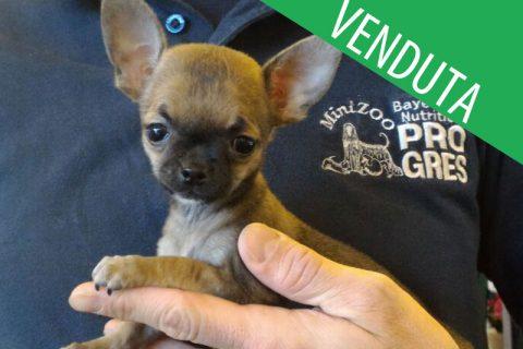 Chihuahua femmina fulva